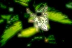 """dragonhead"" - macro (camerito) Tags: plant pflanze macromondays intothewoods black green schwarz grün leaves blätter makro shiny drachenkopf fantasy art camerito nikon1 j4 flickr"