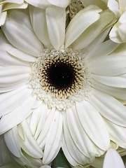 """White Gerberdaisy • <a style=""""font-size:0.8em;"""" href=""""http://www.flickr.com/photos/126469139@N06/34557195486/"""" target=""""_blank"""">View on Flickr</a>"""