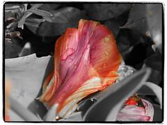 one petal with waterdrops (1elf12) Tags: tulips tulpen braunschweig germany deutschland blume flower blossom blüte blütenblatt petal waterdrops tropfen wasser