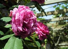paris-162 (gabriel_flr) Tags: paris france seine ladéfense toureiffel bateaux grandearche gabrielflr gabrielflorea blueskies puteaux courbevoie macron investitureduprésident notredame rose roses rosen trandafiri trandafir blooms blumen fleures rosa