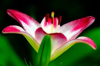 Bilingual Lily, Lollipop : バイカラーのユリ(ロリポップ)