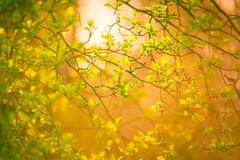 A symphony of light (Ans van de Sluis) Tags: ansvandesluis bokeh bokehlicious botanic botanical flora floral flower macro march nature sunset nederland symphony light