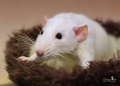 Helmut (Schneeglöckchen-Photographie) Tags: ratte rat animal cute