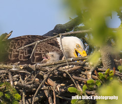 Bald Eagle and Eaglet with tongue out NJ shore (Mike Black photography) Tags: bald eagle eaglet bird nature nj new jersey shore belmar canon 5dsr r 5ds body 800mm usm is l lens black white grey birding shark river sky parent baby