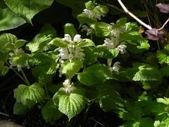Lamium orvala 'Alba' (Safia girl) Tags: lamium lamiumorvalaalba woodland shade