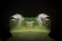 Yellow spotted Cochran frog (Rulyrana flavopunctata) (sebastiandido) Tags: glassfrog frog nikon flash d500 rana colombia herpetology boyaca santa maria eyes macro photography wildlife naturaleza rulyrana flavopunctata animal
