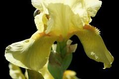 İris gelmiş (halukderinöz) Tags: çiçek flower iris bahçe garden ankara türkiye canoneos40d eos40d hd