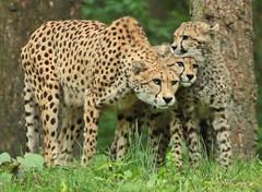 cheetah burgerszoo BB2A6863 (j.a.kok) Tags: cheetah jachtluipaard afrika africa cat kat predator acinonyxjubatus acinonyxjubates burgerszoo mammal zoogdier dier animal