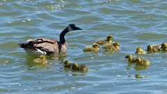 Mother Goose (got2snap) Tags: goose mothergoose goslings water waterfowl river saskatoon saskatchewan springtime spring cute