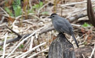 *** Moqueur chat / Gray catbird
