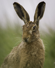 Explored - Sure i'll pose for a you (Howard Brown) Tags: red hare brownhare norfolk portrait wild wildanimal longears boxinghares