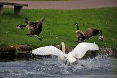 Protective Dad (Karen Warren1) Tags: swan geese grandwesterncanal protective wings water wildlife wildfowl bird walk1000miles2017 worldinneedwalkersimplesitecom