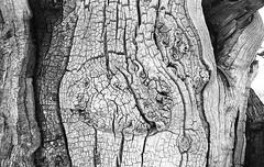 Tree. (Tony Joness) Tags: bw film kodakdoublex5222 pentaxp30 rodinal analogue analog bnw blackandwhite blackwhite develop developer doublex epson epsonscanner eastman england monochrome mono pentax slr scanner scan uk v550 yorkshire fomafix