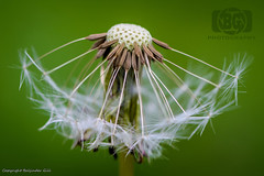 The beginning...or the end..?? (Baljinder.Gill) Tags: dandelion dandelionseedball seedball macro macronature macrophotography nikon nature naturephotography naturemacro