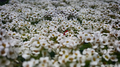 Field of (Alyssum) Dreams (KWPashuk) Tags: samsung galaxy note5 lightroom nikcollection kwpashuk kevinpashuk flowers alyssum plants garden outdoors oakville ontario canada nature
