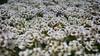 Field of (Alyssum) Dreams (KWPashuk) Tags: samsung galaxy note5 lightroom nikcollection kwpashuk kevinpashuk flowers alyssum plants garden outdoors oakville ontario canada nature