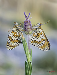 Aromas de la mañana (gatomotero) Tags: olympusomdem1 mzuiko60 pareja mariposas butterfly morning mañanatemprano earlymorning stack field apiladocampo focusbracketing ambiente