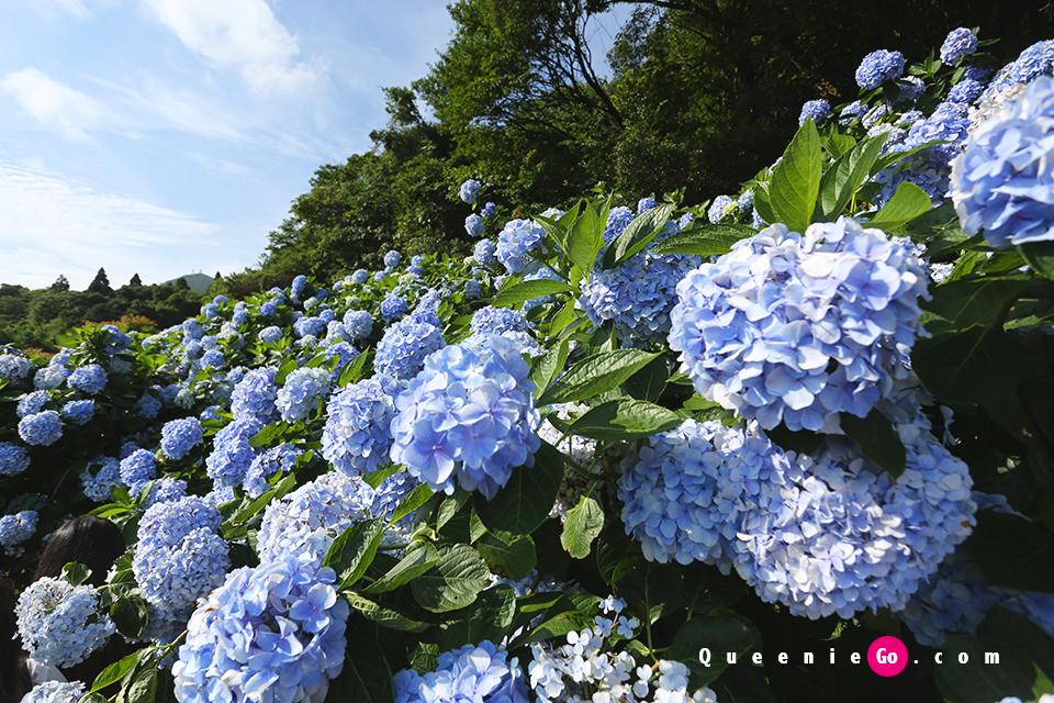 在陽明山繡球花季前往竹子湖高家繡球花田賞繡球