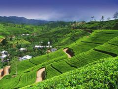 002 (Sri Lanka Travels) Tags: teaestate mountain landscape tea tree