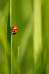 **** (zsolt75) Tags: canon100d sigma 70300 hungary nature ladybug bug may green