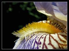 Bartiris (karin_b1966) Tags: blume flower blüte blossom pflanze plant garten garden natur nature frühling spring makro macro 2017 iris bartiris yourbestoftoday