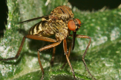 Robber fly (bramblejungle) Tags: robber fly diptera
