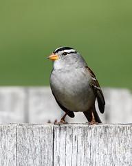 White-crowned sparrow (jlcummins - Washington State) Tags: bird wildlife nature home washingtonstate yakimacounty whitecrownedsparrow fantasticnature
