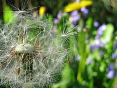 Wishes (lady.bracknell) Tags: dandelion puffball seeds seedhead garden macro dandelionclock bluebells green