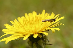Hoverfly (markbuckley1) Tags: macro nature dandelion hoverfly insect flower pollen bee
