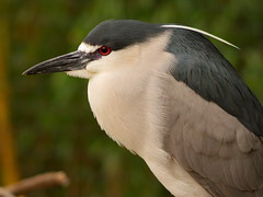 Black Crowned Night Heron 2 (dennisgg2002) Tags: bronx zoo new york city ny nyc