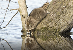 (chana4 ( Nancy Charlton)) Tags: raton laveur exterieru mature arbre reflet eau
