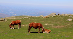 Chevaux en pâturage à Iraty (Pays Basque) (escaledith) Tags: poulain jument cheval chevaux montagne paturage randonnée iraty paysbasque panorama équidé pyrénéesatlantiques 64 france nature