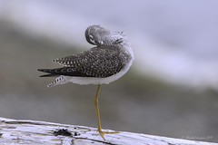 Feeling Good (Chantal Jacques Photography) Tags: greateryellowlegs depthoffield bokeh wildandfree feelinggood preeningsession elegant elegance