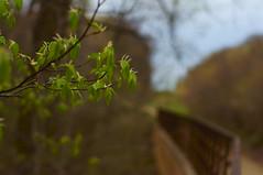 Leafing Out - Explored (FiddleHiker) Tags: hff fencefridays fence tree trees treemendous spring supertakumar50mmf14 bokeh nature minnesota