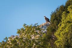 Contemplando el atardecer. (Roberto_48) Tags: buitre leonado ave aves carroñero carroñera