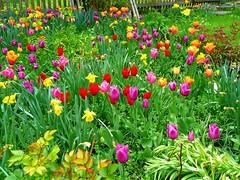 Berbling (wjac) Tags: wjac maibaum berbling badaibling 1mai17 tulpen blumengarten