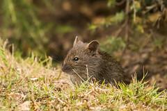 Swamp Rat D50_7238.jpg (Mobile Lynn) Tags: australianswamprat rodents nature wild easternswamprat fauna mammal mammals rattuslutreolus rodent rodentia wildlife gipsypoint victoria australia au