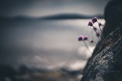 Hanging On (DefinitelyDreaming) Tags: lensbaby twist60 moody dark seaside coast coastal rocks rocky flowers bokeh
