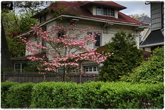 """""""Old Wooden Fence..."""" (Alexxir) Tags: ditmas park spring 2017 cherry blossom sakura festival nyc matsuri brooklyn new york city flowers red yellow bloom blooming magnolia magnolias pink trees streets white bushes rose dandelions alleys perspectives birds victorian houses homes vintage flower vase vases cosy quiet peaceful serene relaxing dreamy desolate contrast garden vegetation colors colorful color explosion beautiful beauty incredible mesmerizing enveloping snow buds untouched nature mother pavement sidewalk doors entrance bedroom sleeping sleepy sunny bright heart"""