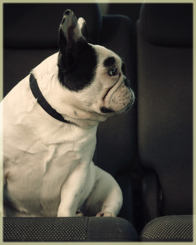 French bulldog stare