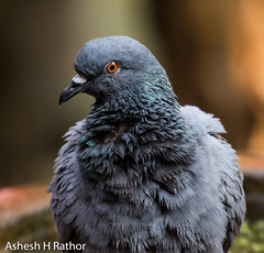 Rock pigeon (asheshr) Tags: 200500mm 200500mmnikkor beautifulbird bird birds birdsofindia birdsofodisha birdsoforissa commonpigeon d7200 nikon pigeon rockpigeon