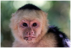 Monkey Portrait. (vegetus aer) Tags: costarica manuel antonio manuelantonio nationalpark monkey capuchinmonkey whitefacedmonkey sony rx10m3