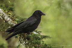Pilgrimage to Tofino- Northwestern Crow (Chantal Jacques Photography) Tags: pilgrimagetotofino northwesterncrow wildandfree depthoffield bokeh