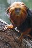 Golden-headed lion tamarin (Tambako the Jaguar) Tags: goldenheadedliontamarin tamarin small monkey brown primate posing trunk branch tree portrait looking paws brevardzoo zoo florida usa unitedstates america nikon d5