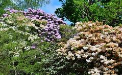 Clyne In Bloom Early May 2017 (14) (goweravig) Tags: rhododendrons flowers blooms parks gardens swansea clyne wales mayals clynegardens
