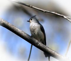 Tufted Titmouse:Baeolophus bicolor (Stan in FL) Tags: tufted titmouse baeolophus bicolor birds birding nikon d500 va virginia