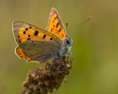 Small Copper.Lycaena Phlaeas. (trevorwilson1607) Tags: butterfly smallcopper copper small lycaenaphlaeas denbieshillside hillside denbies close closeup macro insect outdoors olympusem5mk2 60mmmacro finedetail resting