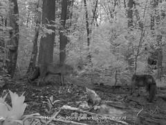 IMAG0007 2 (www.kijknaarnatuur.nl) Tags: leudal vosvulpesvulpes zoogdieren