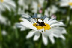Bumblebee at breakfast (Mostly offline until 6th of June) Tags: sliderssunday hss makro insekt blume garten processed