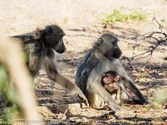 Chacma Baboon family (xrxss15) Tags: africa animalia animals bärenpavian cercopithecidae chacmababoon krugernationalpark mammals monkeys mpumalanga papioursinus southafrica säugetiere tiere outofacar